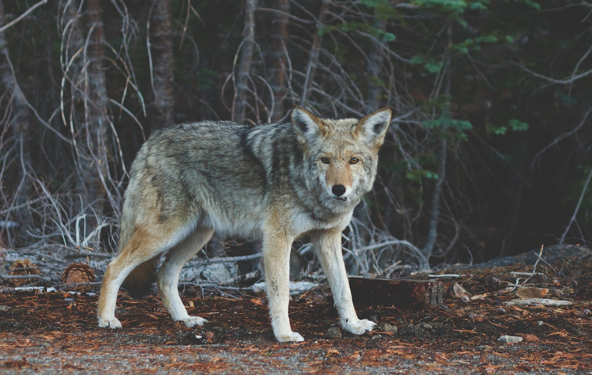 A Wolf Prowls in the Dreams of a New Believer